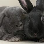 Rabbit Pairing